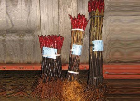 Plants traditionnels (racines nues)