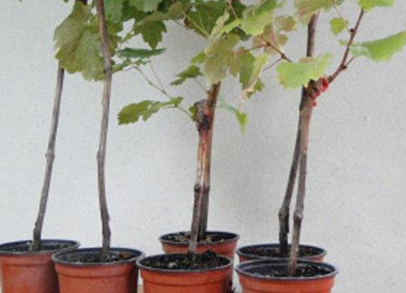 Plants en conteneurs