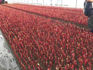 Plants de vigne sous serre
