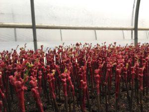 Plants de vigne en pots